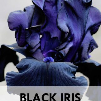 Black Iris Flowers ebook