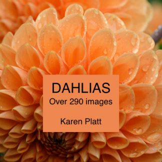 dahlias by Karen Platt